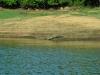anderes Krokodil